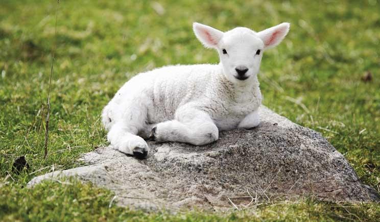 Pasqua: flash mob degli animalisti per gli agnellini