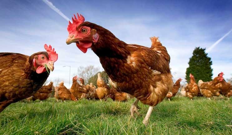 Pollo e tacchino combattono patologie cardiovascolari e tumori