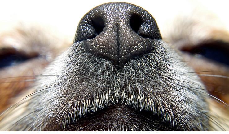 L'olfatto dei cani riesce a scovare i tumori