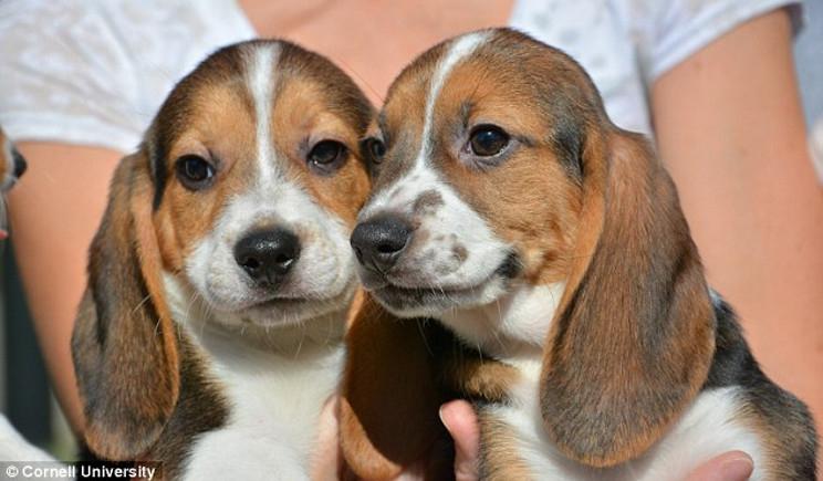 Nati negli USA i primi cani in provetta