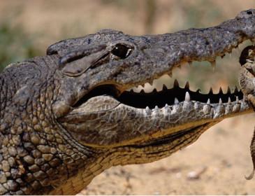 Dallo sperma di coccodrillo un rimedio per l'infertilità
