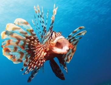 Il pesce scorpione avvistato al largo delle coste italiane
