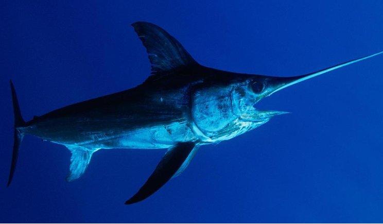Pesce spada ritirato a causa di livelli di mercurio troppo elevati